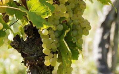 Dai viticoltori padovani metodologie d'irrigazione all'avanguardia e in grado di risparmiare e preservare la risorsa idrica