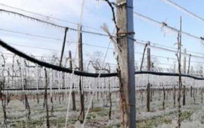 In Veneto le gelate tardive hanno causato danni a kiwi, peschi, meli, ciliegie, susine e in parte anche alle viti