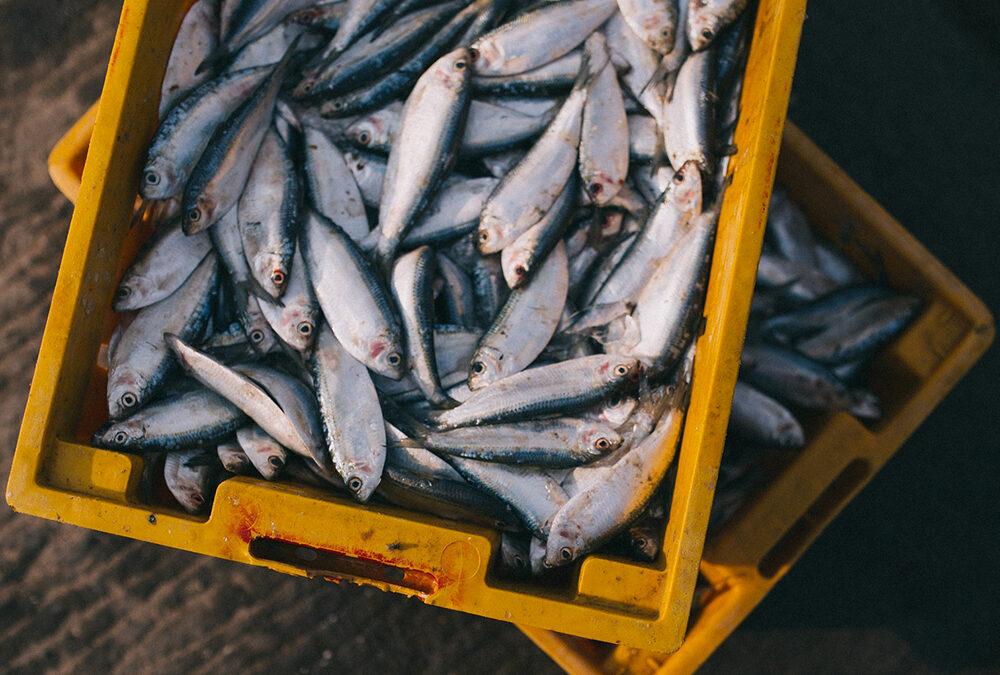 """Pesca di sardine e alici nel mare Adriatico: con il progetto """"ITACA"""" una app per renderla più sostenibile e redditizia"""