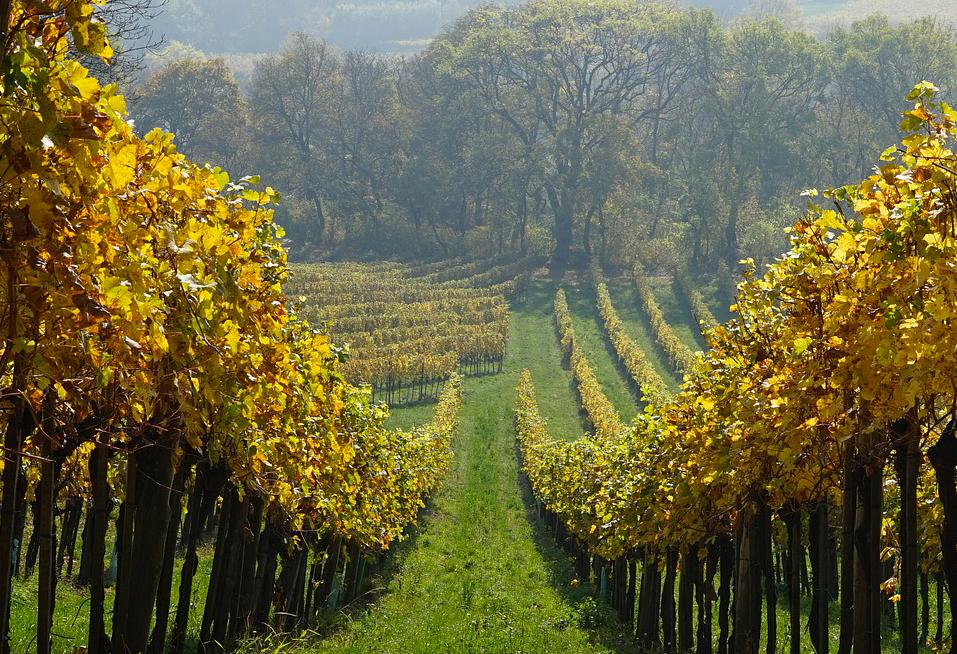 """Più vitigni """"resistenti"""" per la sostenibilità: avanza spedita la ricerca anche da parte dell'agenzia Veneto Agricoltura"""
