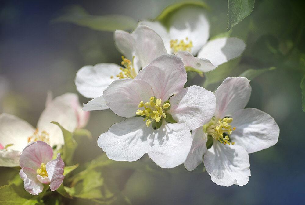 L'albero delle mele? No, gli alberi delle mele. In Veneto esiste un patrimonio genetico di oltre 240 varietà autoctone